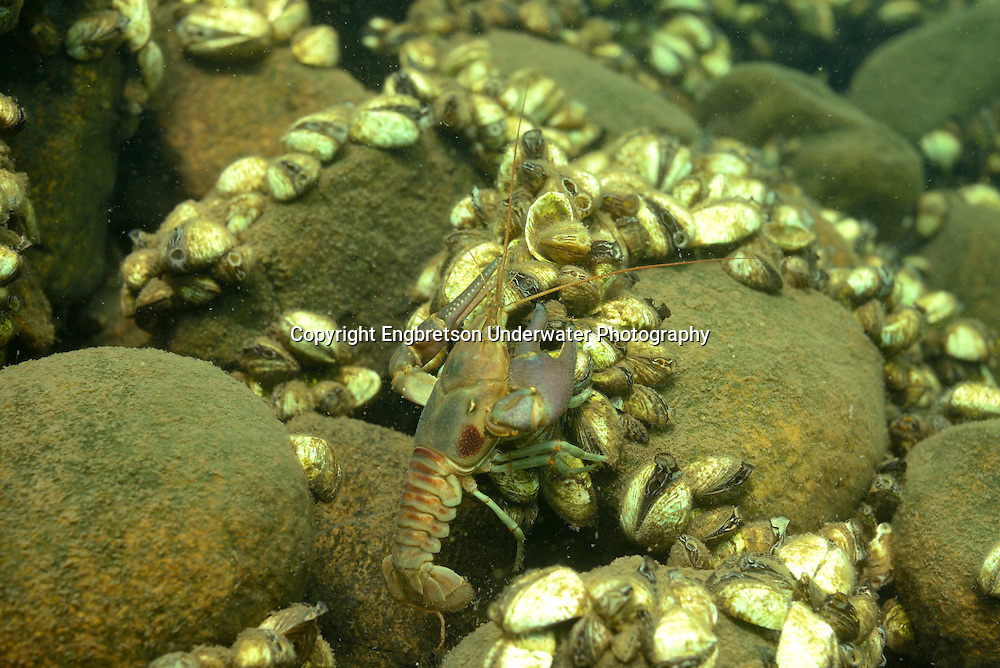 Rusty Crayfish (with Zebra Mussels)<br /> <br /> Engbretson Underwater Photography