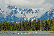 White Pelicans in Grand Teton National Park