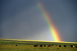 Stock photo of a rainbow through the gray storm clouds over a pasture of cows
