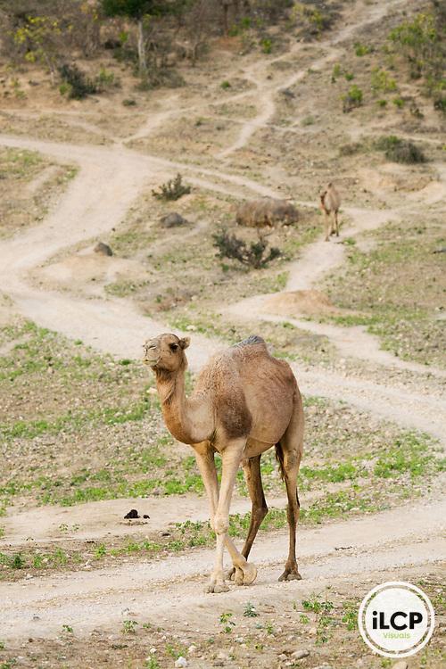 Dromedary (Camelus dromedarius) camels on dirt road, Hawf Protected Area, Yemen