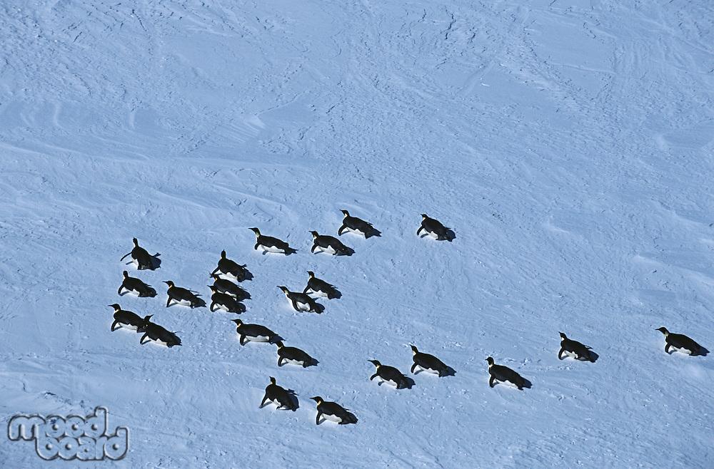 Antarctica Weddell Sea Riiser Larsen Ice Shelf colony of Emperor Penguin