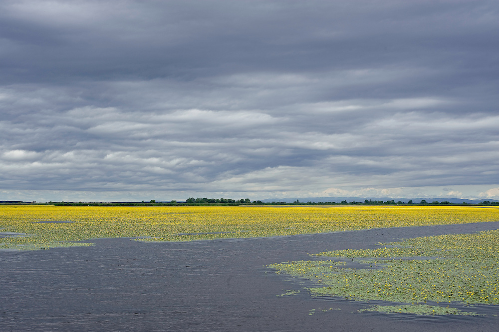 Landscape with Yellow floating heart (Nymphoides peltata) fields, Hortobagy National Park, Hungary
