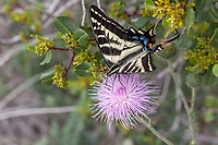 Papilio eurymedon (Pale Swallowtail) ♀ at Glendora Ridge, Los Angeles Co, CA, USA, on California thistle 02-May-15