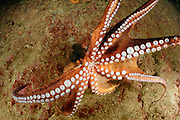 Octopus (Octopus vulgaris) [size of single organism: 120 cm] (Octopoda) | Gewöhnlicher Krake