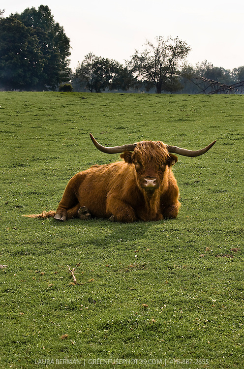 A Highland bull resting in the field.