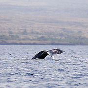 Humpback whale, sailing aboard Mailae