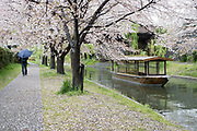 A traditional style boat plying a Kyoto canal near the end of the cherry blossom season.