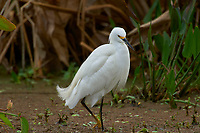 Snowy Egret, (Egretta caerulea), Wakodahatchee Wetlands, Delray Beach, Florida, USA   Photo: Peter Llewellyn