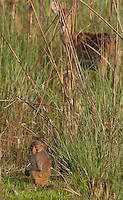 Rhesus Macaque, Macaca mulatta and Spotted Deer, Axis axis, Bardiya National Park, Nepal