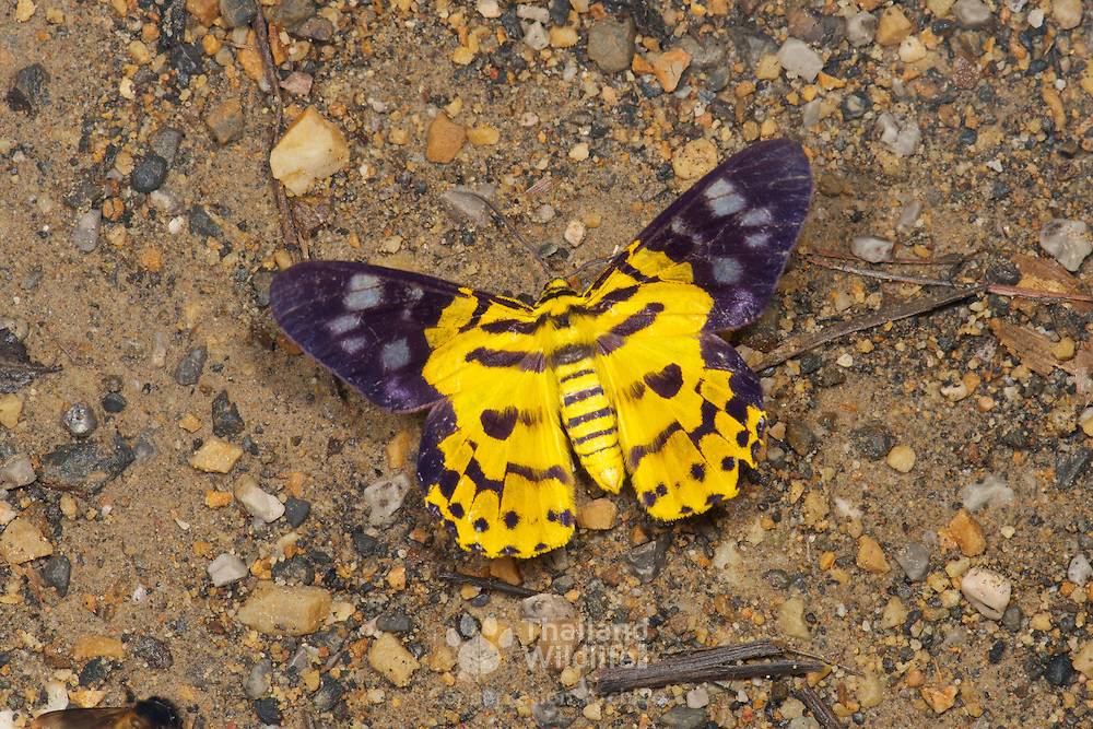 Dysphania militaris is a species of moth of the Geometridae family that can be found from the Oriental region to Sundaland.