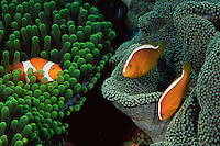 Two species of sea anemone hosting false clown anemonefish (Amphiprion ocellaris) and Orange anemonefish (Amphiprion sandaracinos) grow side by side on a reef in Wakatobi Islands, Sulawesi, Indonesia.