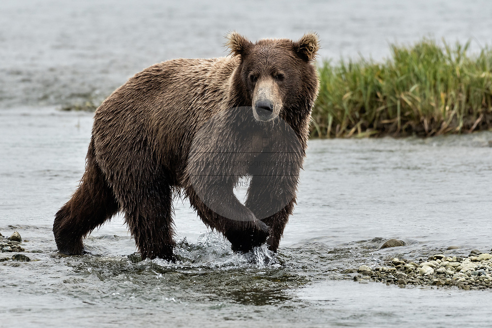 A grizzly bear boar hunts for chum salmon in the lower lagoon at the McNeil River State Game Sanctuary on the Kenai Peninsula, Alaska. The remote site is accessed only with a special permit and is the world's largest seasonal population of brown bears.