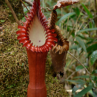One of the most beautiful of all pitcher plants, Nepenthes edwardsiana produces enormous cylindrical pitchers which are strikingly colored. It is endemic to the Mount Kinabalu region in northern Borneo.