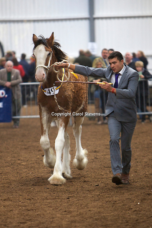 North West and Wales Shire Foal Society <br /> Show 2012<br /> Mr P Moss's Hillmoor Eden<br /> f   03/03/12<br /> Sire   Tree House Prince George<br /> Dam   Bog Bank Elizabeth