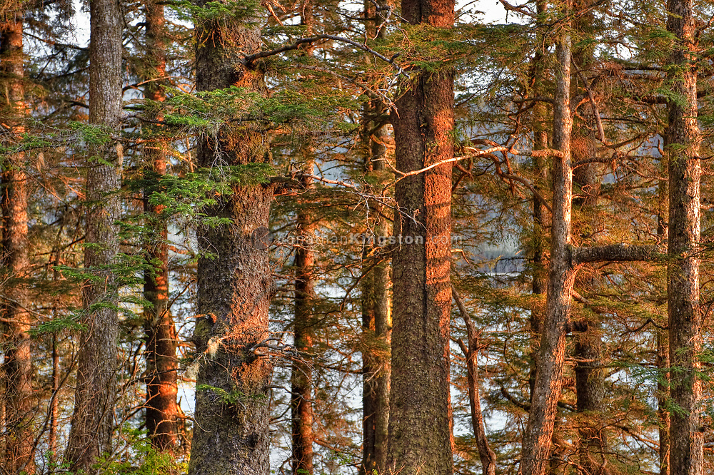Close up of pine trees at sunset near Juneau, Alaska.