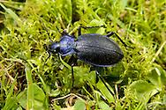Violet Ground Beetle - Carabus violaceus