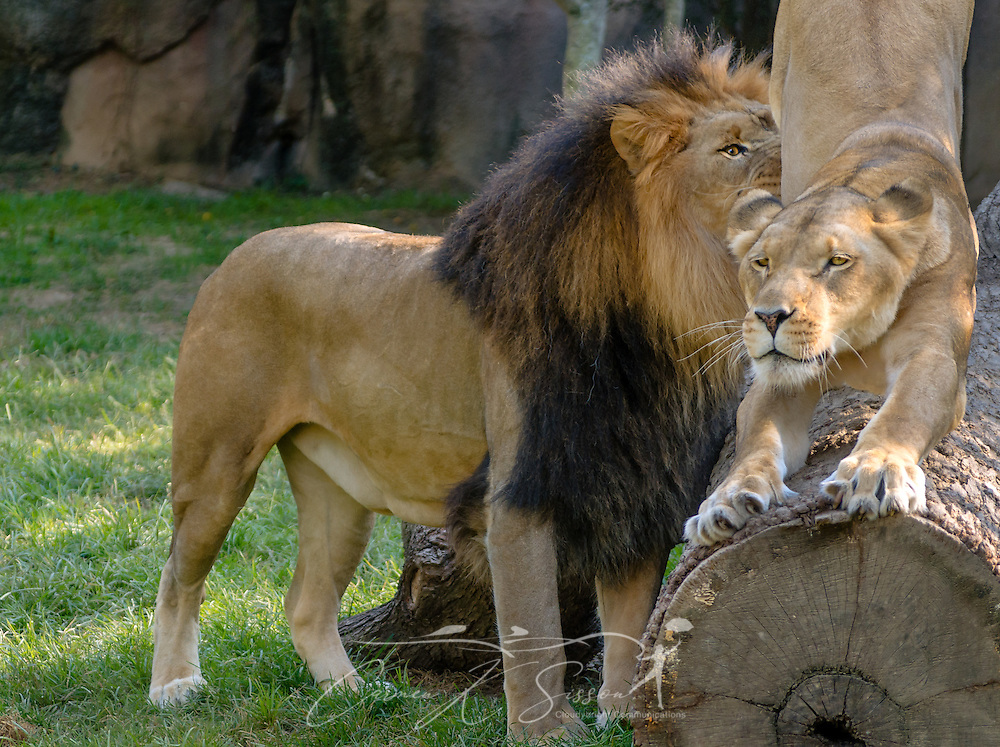 An African lioness (Panthera Leo) sharpens her claws as she is greeted by her mate, Thabo, at the Memphis Zoo, September 8, 2015, in Memphis, Tennessee. The zoo features more than 3,500 animals representing more than 500 species; it is one of only four zoos in the nation to feature a panda exhibit. (Photo by Carmen K. Sisson/Cloudybright)