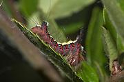 Larval form of a grey dagger moth on a Pyracantha leaf.