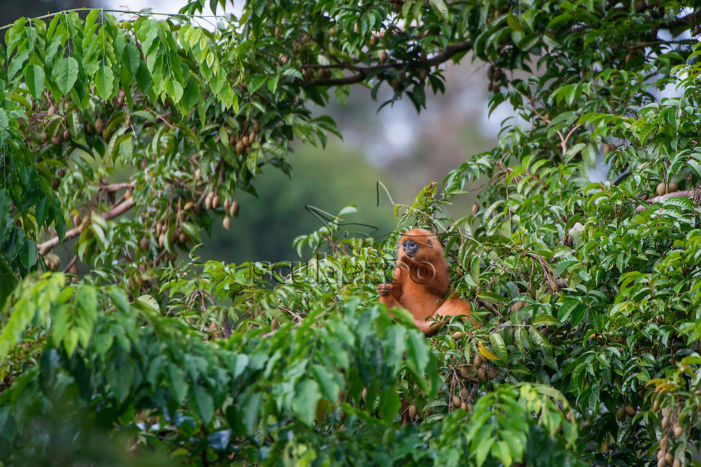 A Red Leaf Monkeys, Presbytis rubicunda, feeding in the canopy, Danum Valley, Sabah, Borneo, East Malaysia.