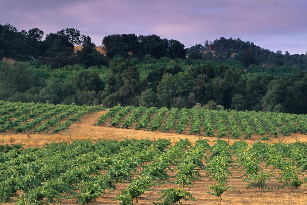 Morning light & fog over vineyards near Plymouth, Shenandoah Valley, Amador County, California
