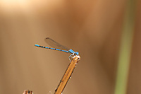This intensely blue male damselfly called a vivid dancer rests on a reed in the Coachella Valley Preserve in Southern California near Twentynine Palms in Riverside County. While harmless to humans, this tiny beauty is a voracious feeder on mosquitos and other flying insects.