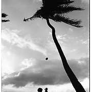 A man catches a fresh coconut, knocked loose from a palm tree on the North Shore of the island Oahu in Hawaii.