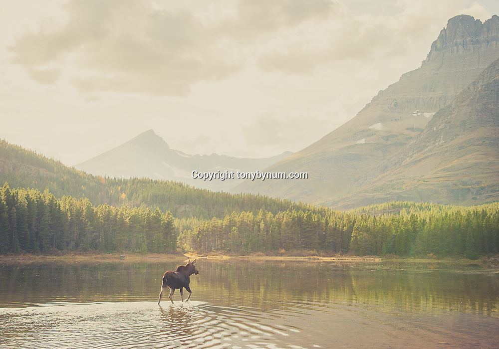 moose crossing a placid pond in glacier national park