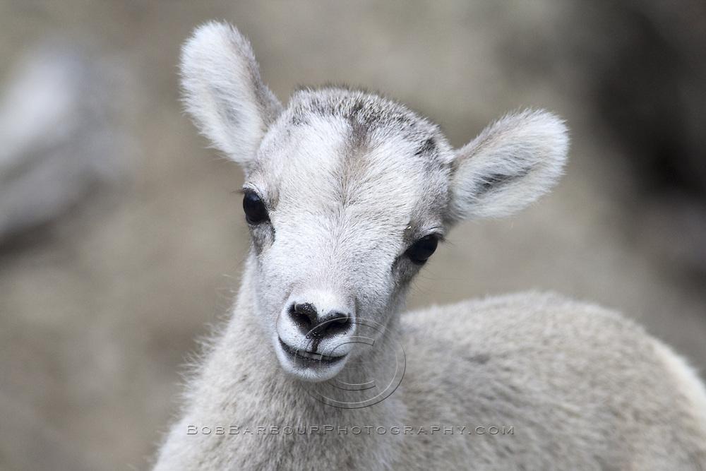 Stone Sheep lamb, Ovis dalli stonei