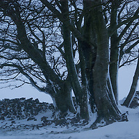A small stand of beech trees next to a crumbing drystone wall in the middle of a snow storm. The Lake District, Cumbria, UK