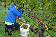 Woman harvesting grapes for wine production.
