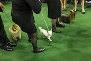 New York, NY - 16 February 2015. Dogs in the toy group and their handlers getting ready to enter the ring for the toy  group judging at the 139th Westminster Kennel Club Dog Show.