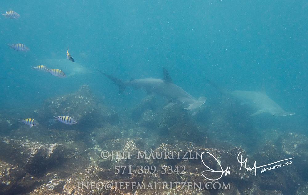 Scalloped hammerhead sharks swim along the seafloor near Genovesa island, part of the Galapagos islands, Ecuador.