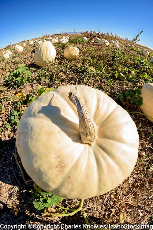 White pumpkin patch in Idaho.