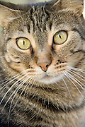 Portrait of a domestic cat intensely looking