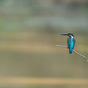 A common kingfisher (Alcedo atthis) in Phu Khieo Wildlife Sanctuary, Thailand.
