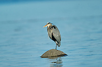 Great Blue Heron (Ardea herodias) on rock, Oyster Bay nr. Cambell River, Vancouver Island, Canada