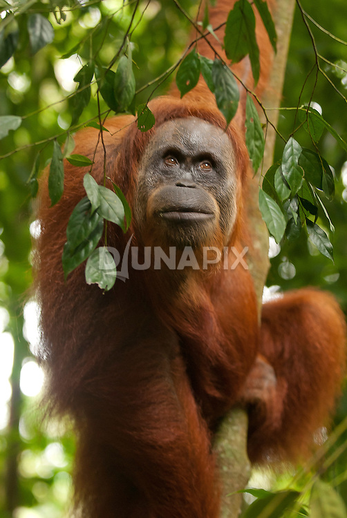 A Sumatran orangutan leans toward camera and looks slightly above frame, with interest.