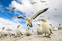 Cape Gannet landing at its colony, Malgas Island, Western Cape, South Africa
