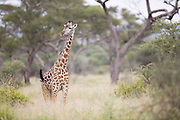 Giraffe flicks its tail, Tarangire National Park, Tanzania
