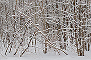 Snow falling at edge of forest<br /> Thunder Bay<br /> Ontario<br /> Canada