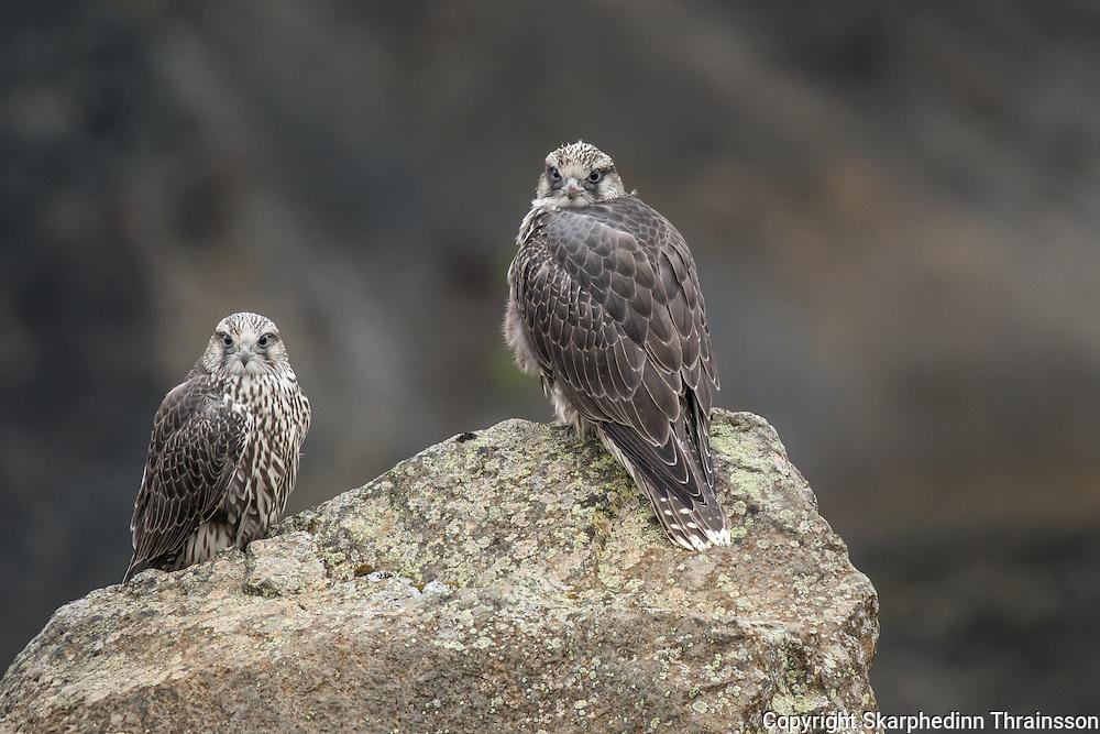 Gerfalcon (Falco rusticolus)