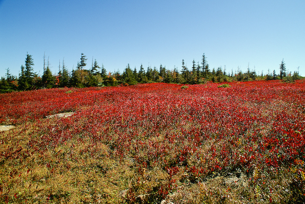 Fields of blueberries blaze red in color during a recent autumn at the Dolly Sods wilderness area, West Virginia. Dolly Sods is on a ridge crest that forms part of the Eastern Continental Divide. Is the highest plateau of its type east of the Mississippi River with altitude ranging from around 4,000 feet to about 2,700 feet.