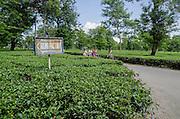 Tea Garden West Bengal India -  Women and Tea
