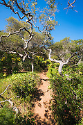 Forest on the Pelican Bay trail, Santa Cruz Island, Channel Islands National Park, California USA