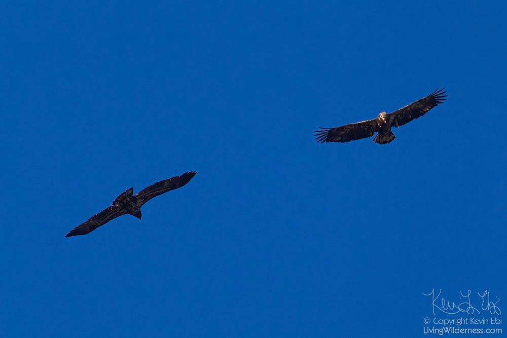 Two juvenile bald eagles (Haliaeetus leucocephalus) soar over the Squamish River in Brackendale, British Columbia, Canada.