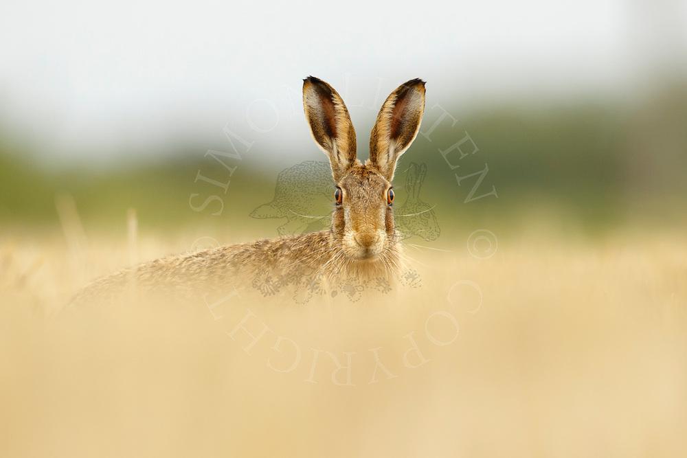 European Hare (Lepus europaeus) adult in wheat stubble field, Norfolk, UK.