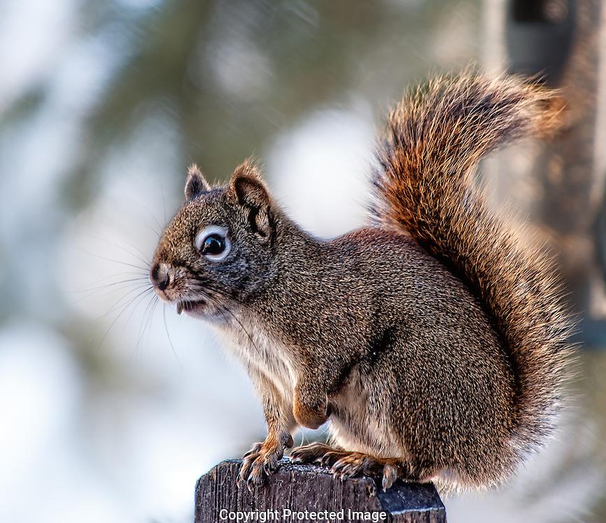 Red squirrel. (Tamiasciurus hudsonicus), Alberta, canada, Isobel Springett