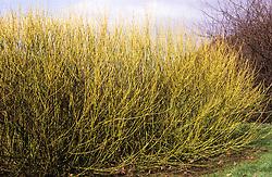 Winter stems of Cornus stolonifera 'Flaviramea'. Golden-twig dogwood