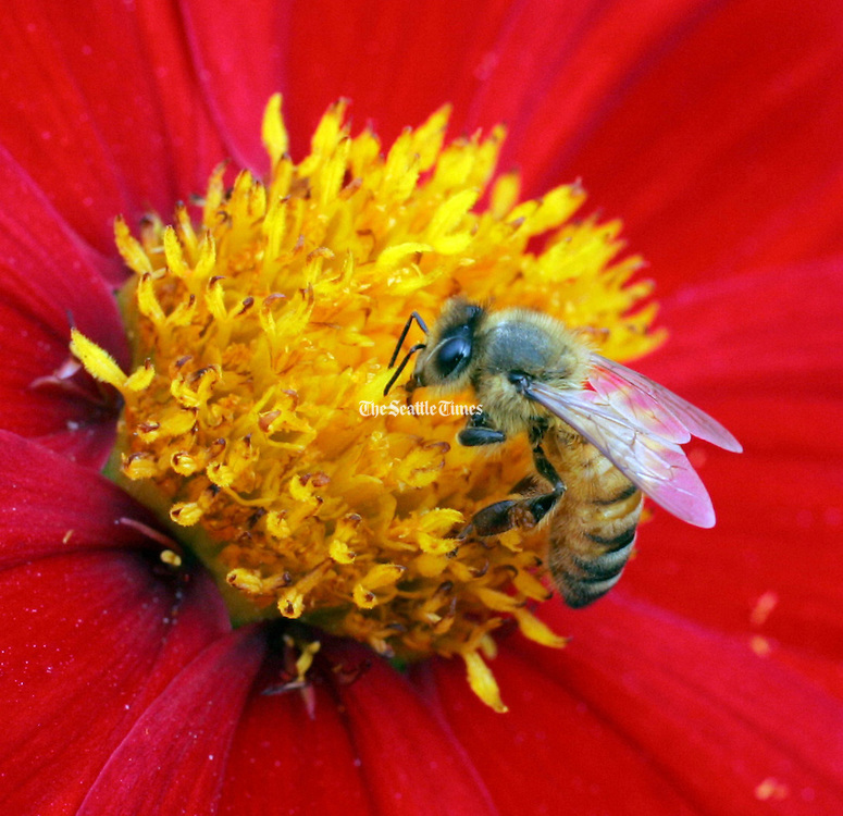 A  honey bee stops at a flower in the Bellevue Botanical Gardens.  <br />