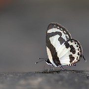 Pycnophallium roxus, the straight Pierrot, is a small butterfly found in Thailand that belongs to the lycaenids or blues family.